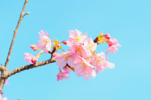 Sakura, rosa kirschblüte in japan auf frühlingssaison.
