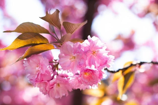 Sakura-zweig blüht