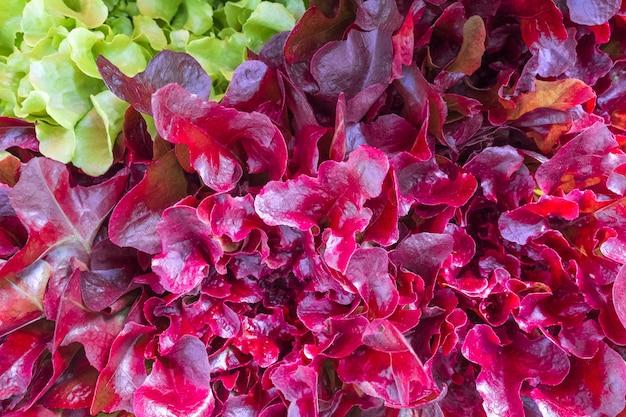 Salat grün und lila