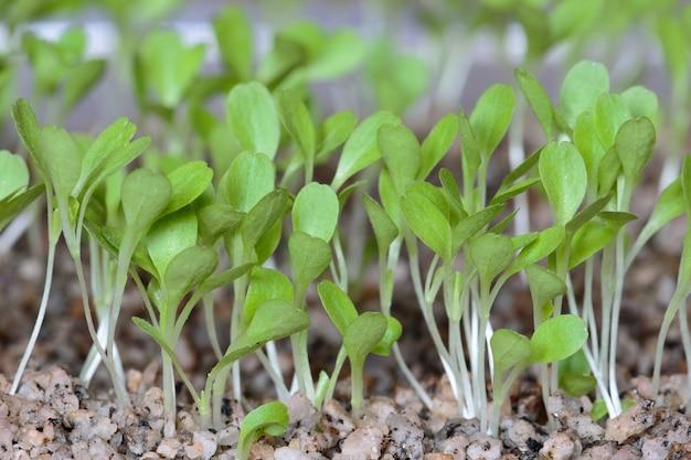 Salat (lactuca sativa) schöne salatkeimblätter nach der keimung nach 7 tagen für hydroponisches system. lima, peru