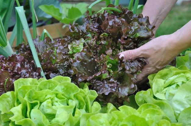 Salat pflücken
