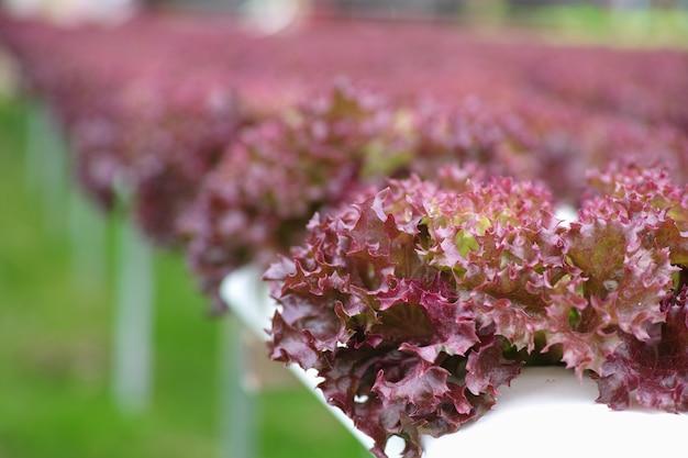 Salatblatt hautnah