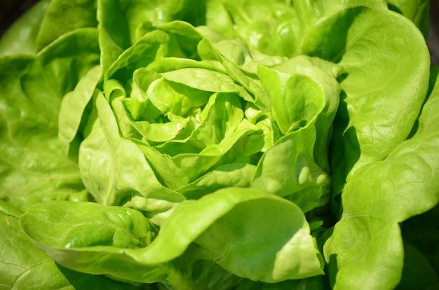 Salatgemüse für gesundes essen auf dem bauernhof