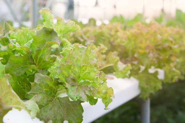 Salatgemüse im gewächshaus, gesundes lebensmittel