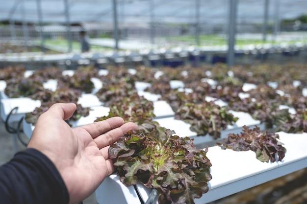 Salatgemüse in der hydroponischen gartenfarm, gesunder biologischer anbau.