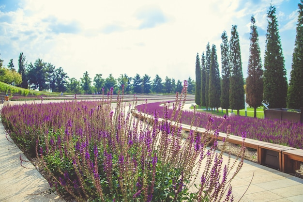 Salbeiblumen wachsen in einem blumenbeet in einem öffentlichen park. lila kleine blumen.