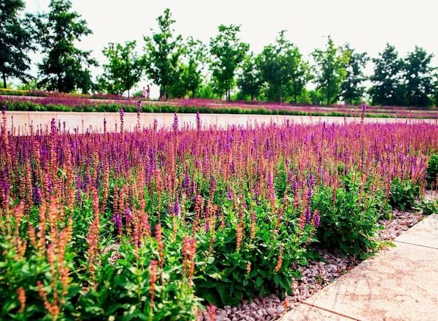 Salbeiblumen wachsen in einem blumenbeet in einem öffentlichen park. nachahmung von lavendel. lila kleine blumen. heilpflanze.