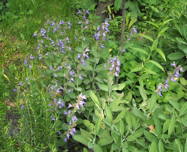 Salbeipflanze (salvia officinalis)