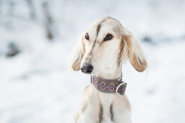 Saluki im winterwald-nahaufnahmeporträt.
