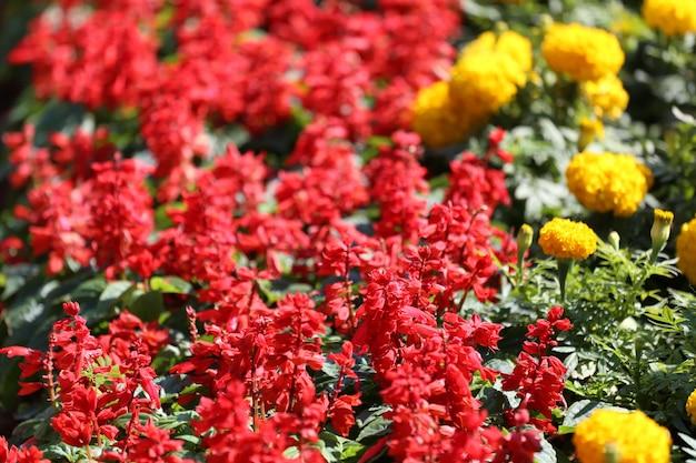 Salvia blüht im blumengarten.