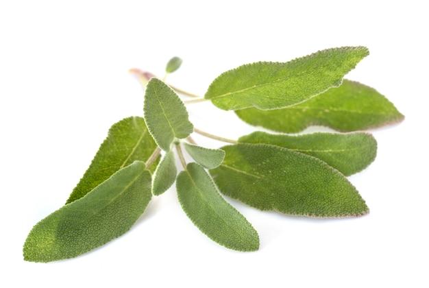 Salvia officinalis im studio