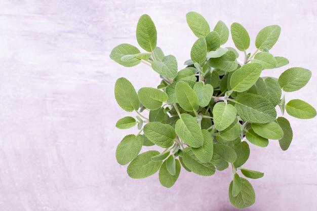 Salvia-pflanze isoliert auf weißem hintergrund. ansicht von oben. flaches lay-muster.