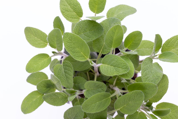 Salvia pflanze lokalisiert auf weißem hintergrund. draufsicht. flaches legemuster.