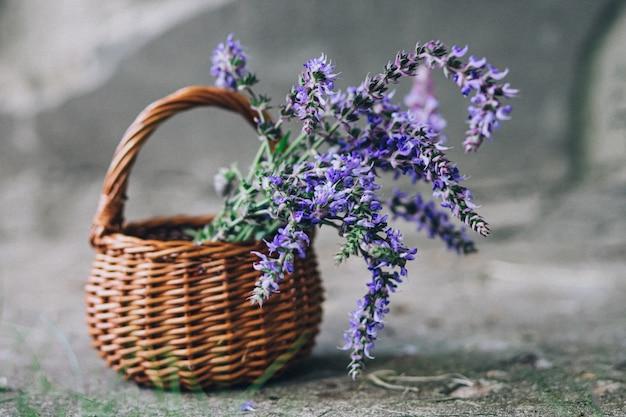 Salvia pratensis, wiesenmuschel oder wiesenweiss-purpurblumen im weidenkorb von der rebe. sammlung von heilpflanzen während der blüte im sommer und frühling. heilkräuter. selbstmedikation