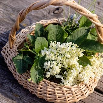 Sambucus holunder holunderblüten schwarz im weidenkorb am sammelpunkt der heilkräuterpflanze, die in der medizin und homöopathie verwendet wird
