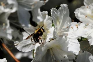 Sammelt nektar