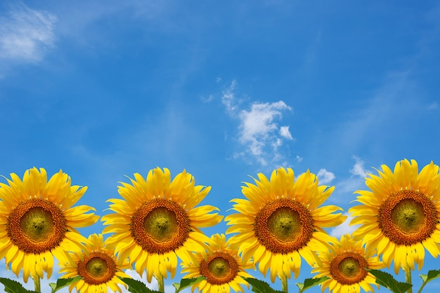 Sammlung sonnenblumen mit hintergrund des blauen himmels