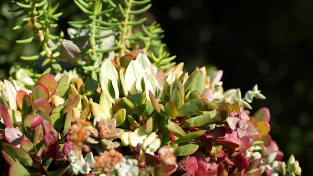 Sammlung von sukkulenten, gartenarbeit in kalifornien, usa. botanische henne und küken im hausgarten.