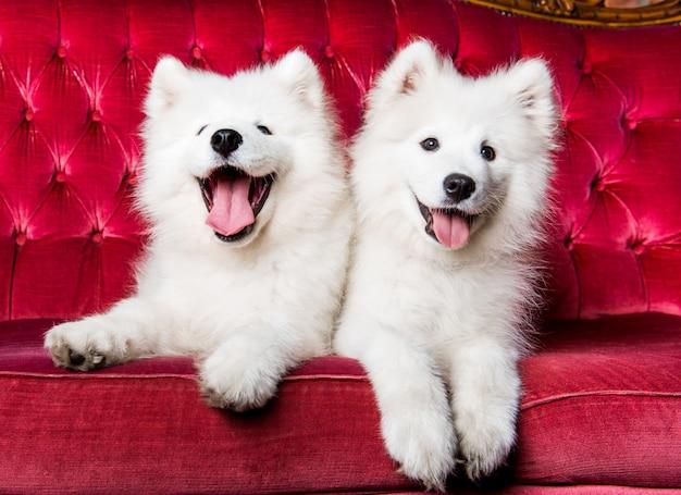 Samojede hunde auf der roten luxuscouch