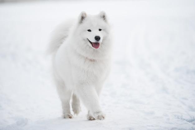 Samojede weißer hund ist auf schnee draußen auf winterlandschaft