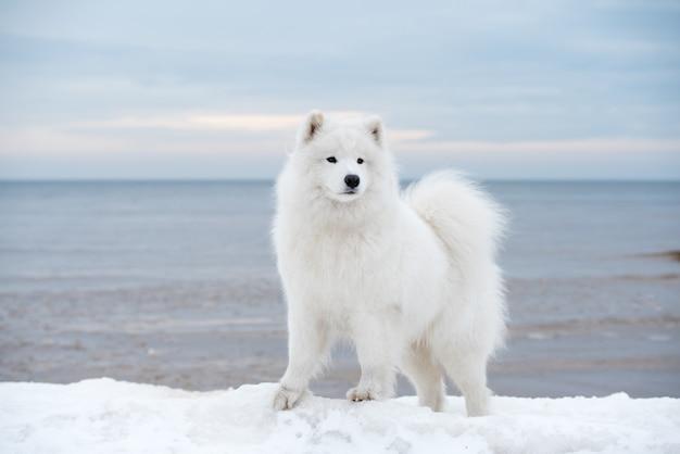 Samojede weißer hund ist auf schnee saulkrasti strand in lettland