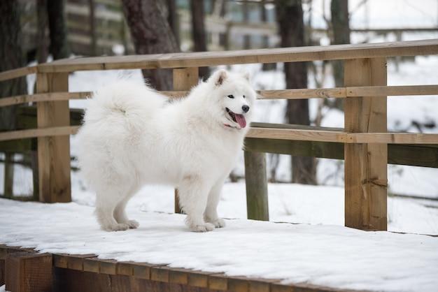 Samojede weißer hund ist auf schneewegstraße in lettland