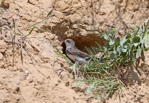 Sand martin sitzt neben dem nest mit gras neben ihm