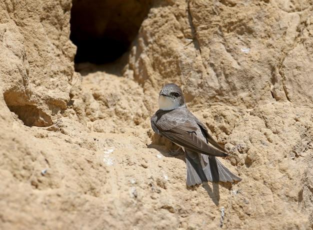Sand martin sitzt neben dem nest und wartet auf den zukünftigen partner