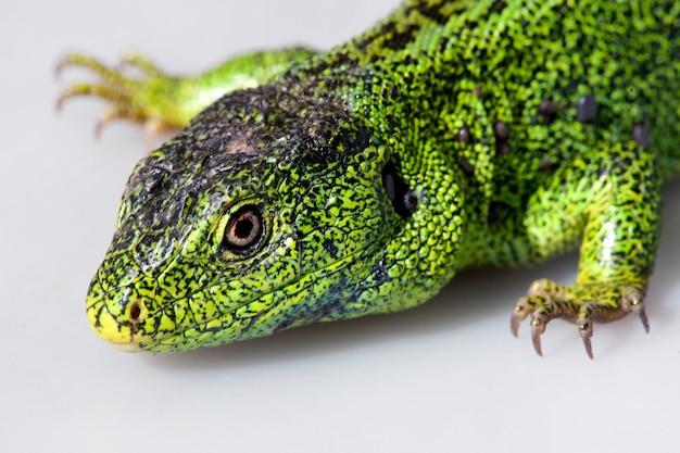 Sandeidechse, lacerta agilis. die männliche eidechse in brütender grüner farbe. makro. kleine schärfentiefe.