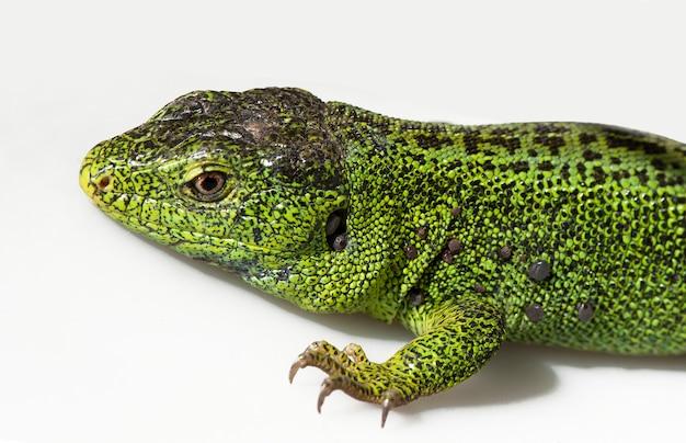 Sandeidechse, lacerta agilis. die männliche eidechse in der zuchtgrünfarbe auf einem weißen hintergrund.