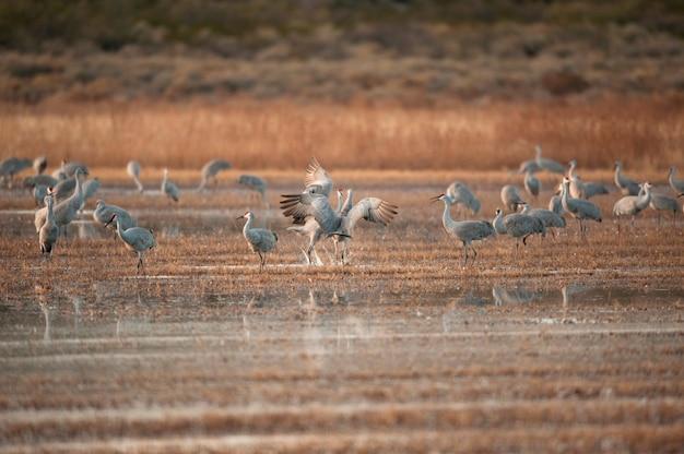 Sandhill kranich flock
