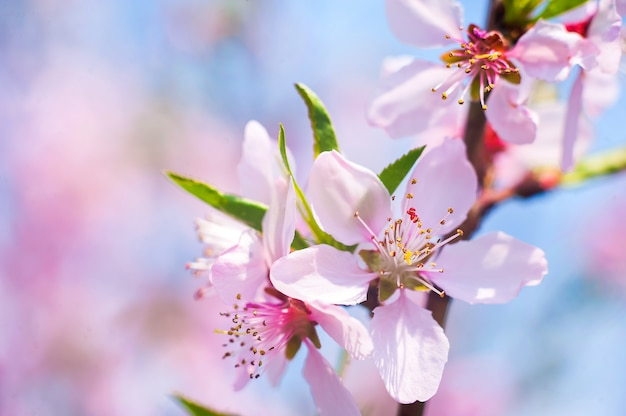 Sanfter frühlingshintergrund der blühenden bäume. romantische frühlingsfarben und platz für text.