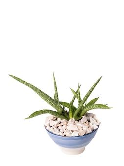 Sansevieria fernwood punk - schlangenanlage in keramiktopf isoliert auf weiß mit schnittpfad, zimmerpflanzenbäume absorbieren giftstoffe, um die luft zu reinigen