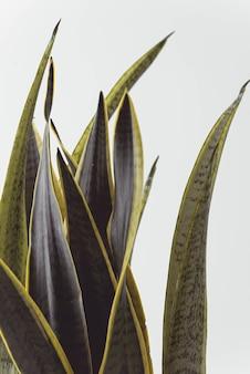 Sansevieria ideal für nordische dekoration, sowohl im topf als auch in bildern an der wand. hochwertiges foto