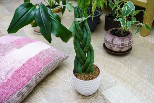 Sansevieria ist zylindrisch in form eines zopfs.
