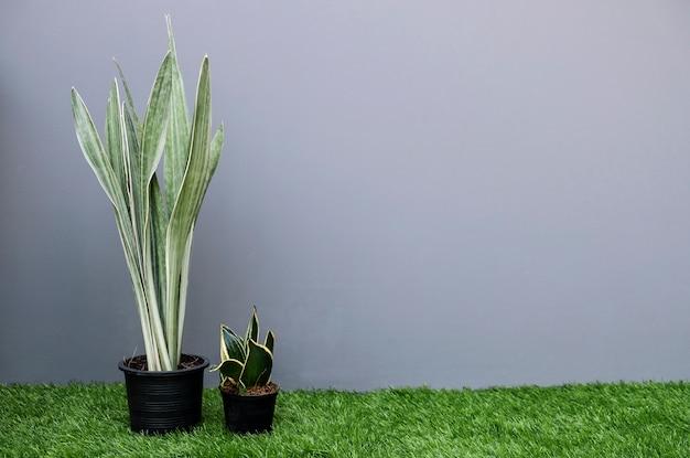 Sansevieria oder schlangenpflanze im blumentopf