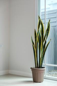 Sansevieria oder schlangenpflanze zu hause