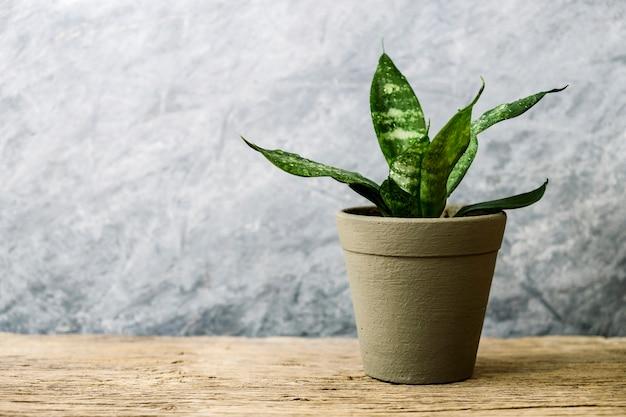 Sansevieria trifasciata oder schlangenanlage im topf auf altem hölzernem haus und gartenkonzept