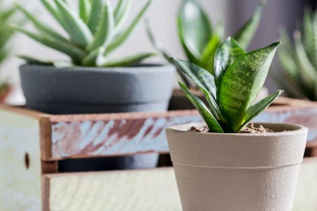 Sansevieria trifasciata oder schlangenanlage im topf zu hause