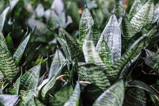 Sansevieria trifasciata oder schlangenpflanze im garten