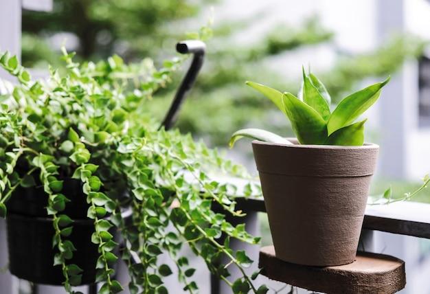 Sansevieria trifasciata oder schlangenpflanze und million herzen am balkon