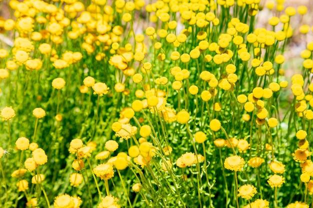 Santolina-chamaecyparissus, traditionelle wilde heilpflanze mit gelben blumen