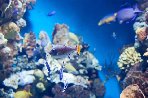 Sargassum drückerfisch, der auf korallenriff schwimmt