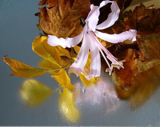Sarniensis guernsey nerine lilie reflexion