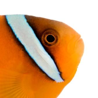 Sattelanemonenfisch - amphiprion ephippium auf weiß