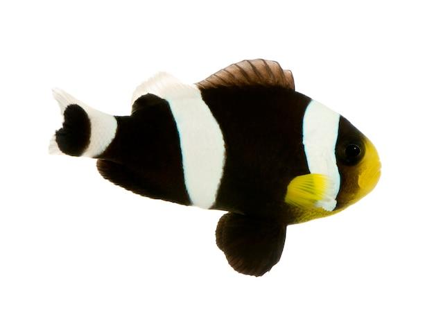 Sattelrücken-clownfisch - amphiprion polymnus auf weiß
