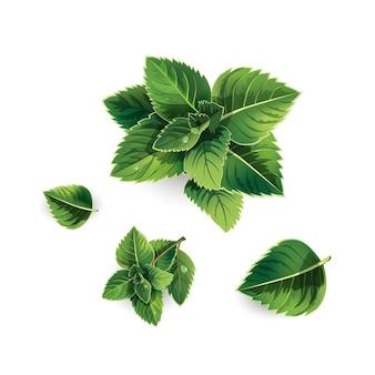 Satz frische grüne minzeblätter auf einem weißen hintergrund. realistische stilillustration.