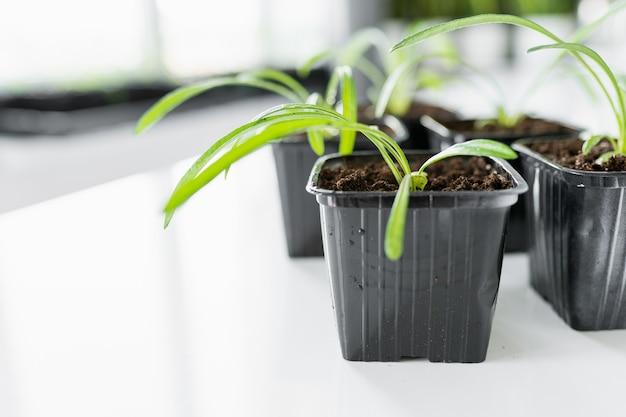 Satz junge blumensämlinge in schwarzen plastiktöpfen vor dem umpflanzen auf weißen tisch. copyspace.
