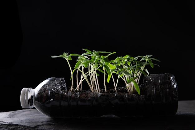 Satz junge tomatensämlinge in kleinen schwarzen plastiktöpfen lokalisiert auf schwarzem hintergrund. ein foto von sämlingen mit einer draufsicht. sämling nach der transplantation in innenräumen kultiviert