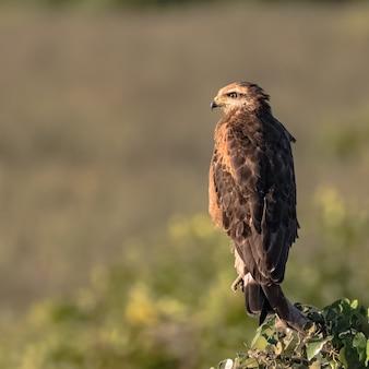 Savannah hawk thront auf einer baumkrone in brasilien